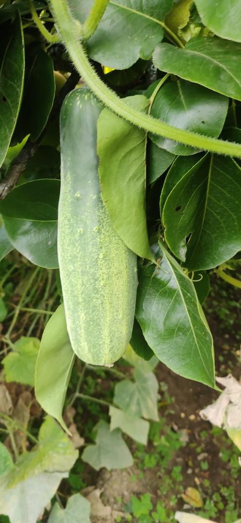 Cucunber - Cucurbitaceae