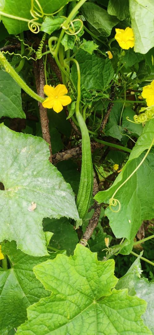 Ridge Gourd - Luffa Acutangula