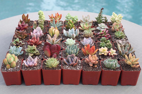 20 Colorful Succulents in 2 inch pots