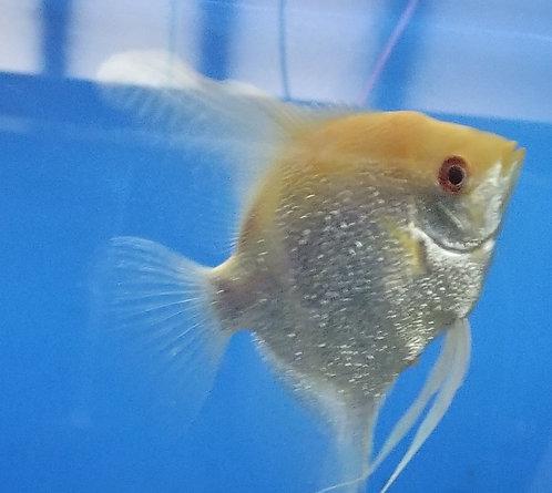 Orange Headed Pearlscale Angelfish