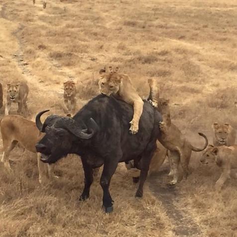 Job hunt and a real buffalo hunt in Tanzania