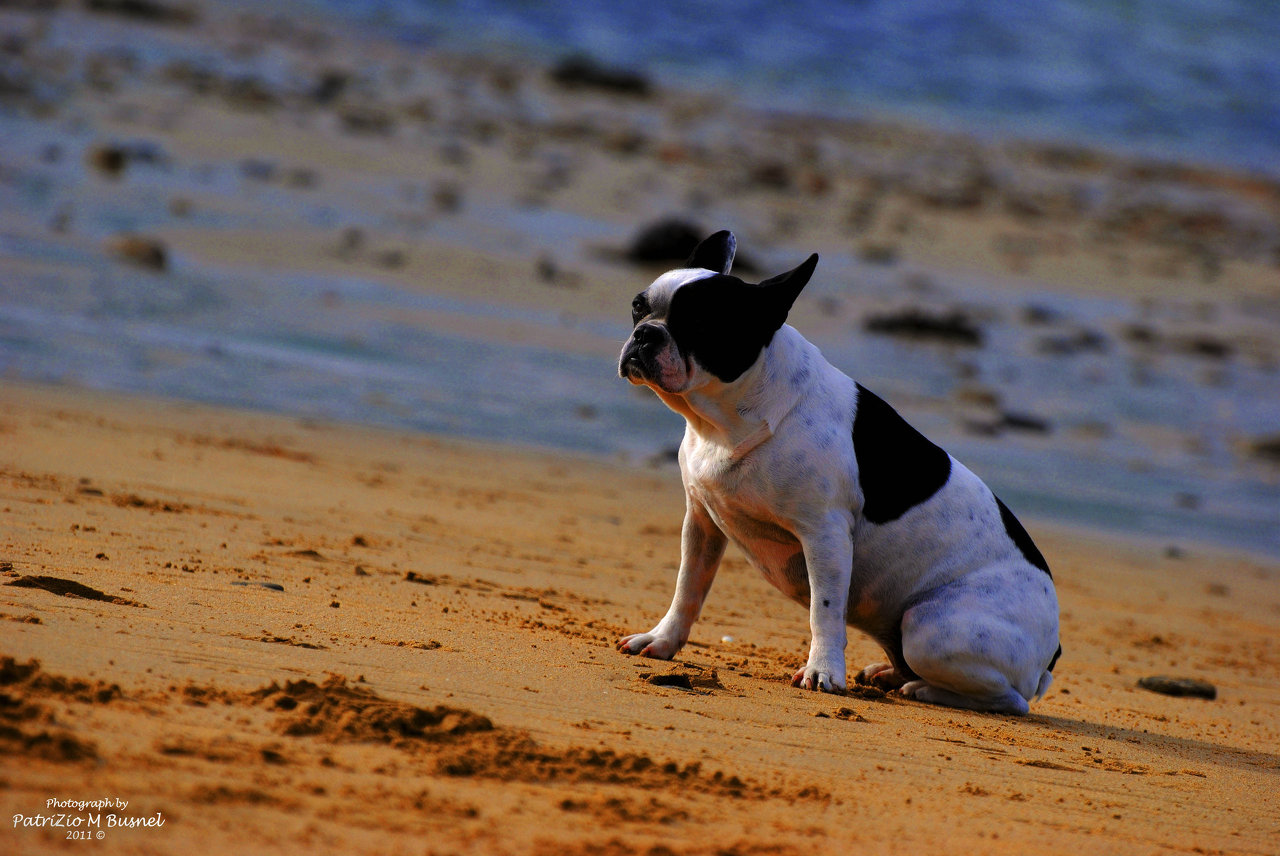 French bull dog on the beach