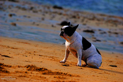 French bull dog on the beach