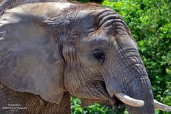 The elephant by Patrizio M Busnel