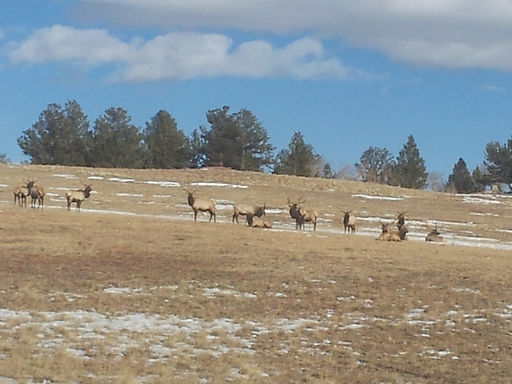 Elk, Bulls large and small, Colorado Elk Hunting.