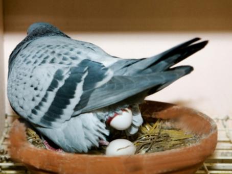 De kweek bij duiven