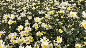 【ベトナム通信 2】ハノイの季節の花