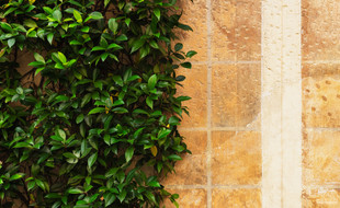 Wall and shrub