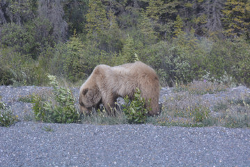Brown Bear/Grizzly Along the Alaska Highway