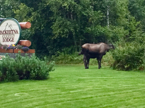 Moose at Talkeetna Alaskan Lodge