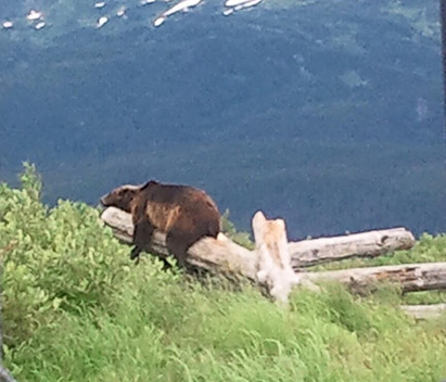 Brown Bear at Alaska Wildlife Conservation Center