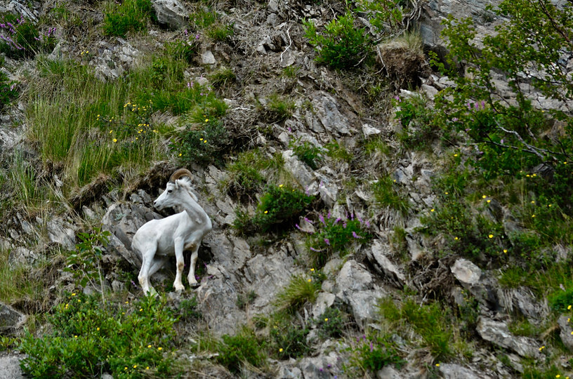 Dall Sheep Near Anchorage