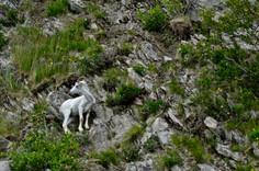 Dall Sheep Along the Seward Highway