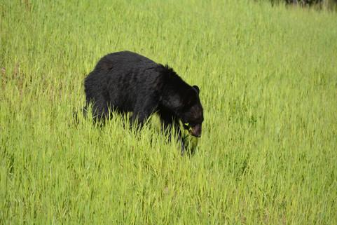 Black Bear Near Whitehorse, YT