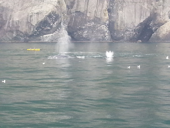Humpback whales feeding in Resurection Bay