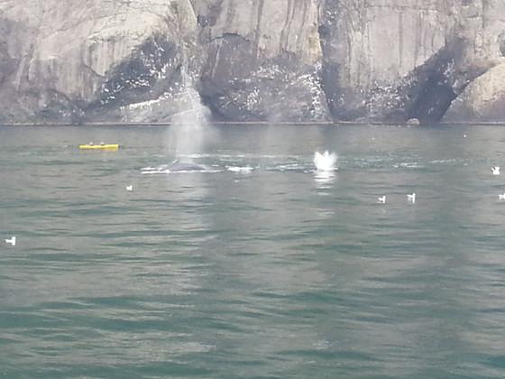 Humpback whales feeding in Resurection Bay