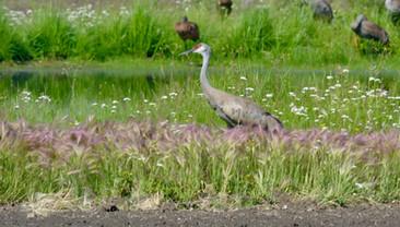 Sandhill Crane in Fairbanks