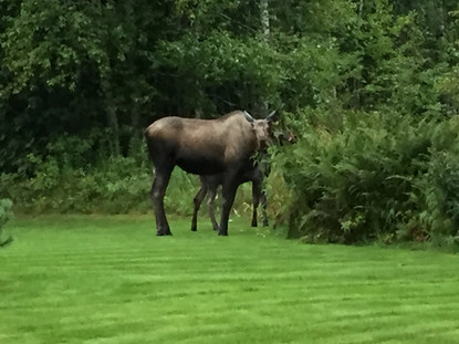 Moose in Talkeetna