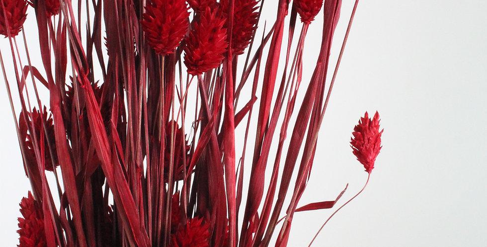 Phalaris rouge