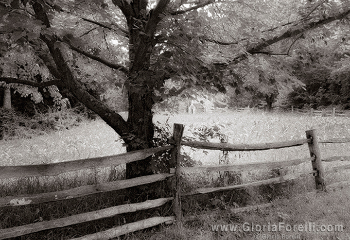 Civil War Era Tree and Fence