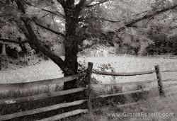 Civil War Era Tree and Fence