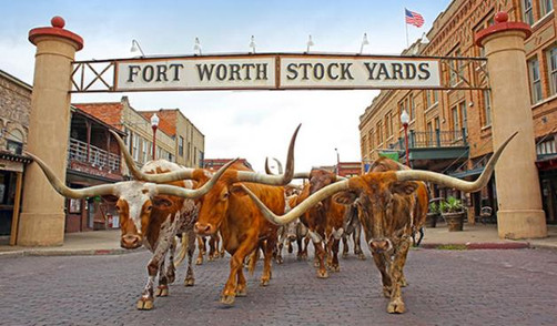 667X391-The-Fort-Worth-Herd-Without-Drov