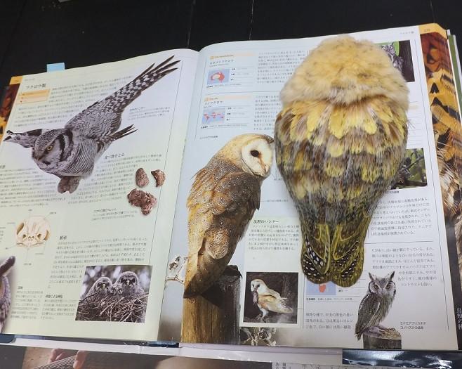 メンフクロウ(左が図鑑写真、右がフィギュア)
