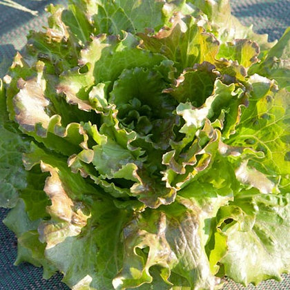 "Salade Batavia ""Carmen"""