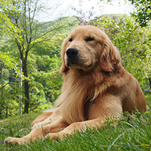 ペンション朝ねぼうの看板犬ゴールデンレトリバーのトキト