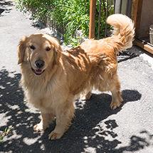 ペンション朝ねぼうの看板犬ゴールデンレトリバーのクイーン