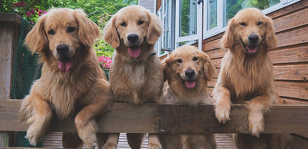 goldenretrievers.jpg