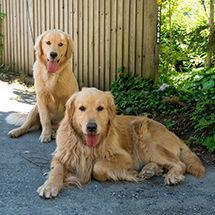 ペンション朝ねぼうの看板犬ゴールデンレトリバーのステラ