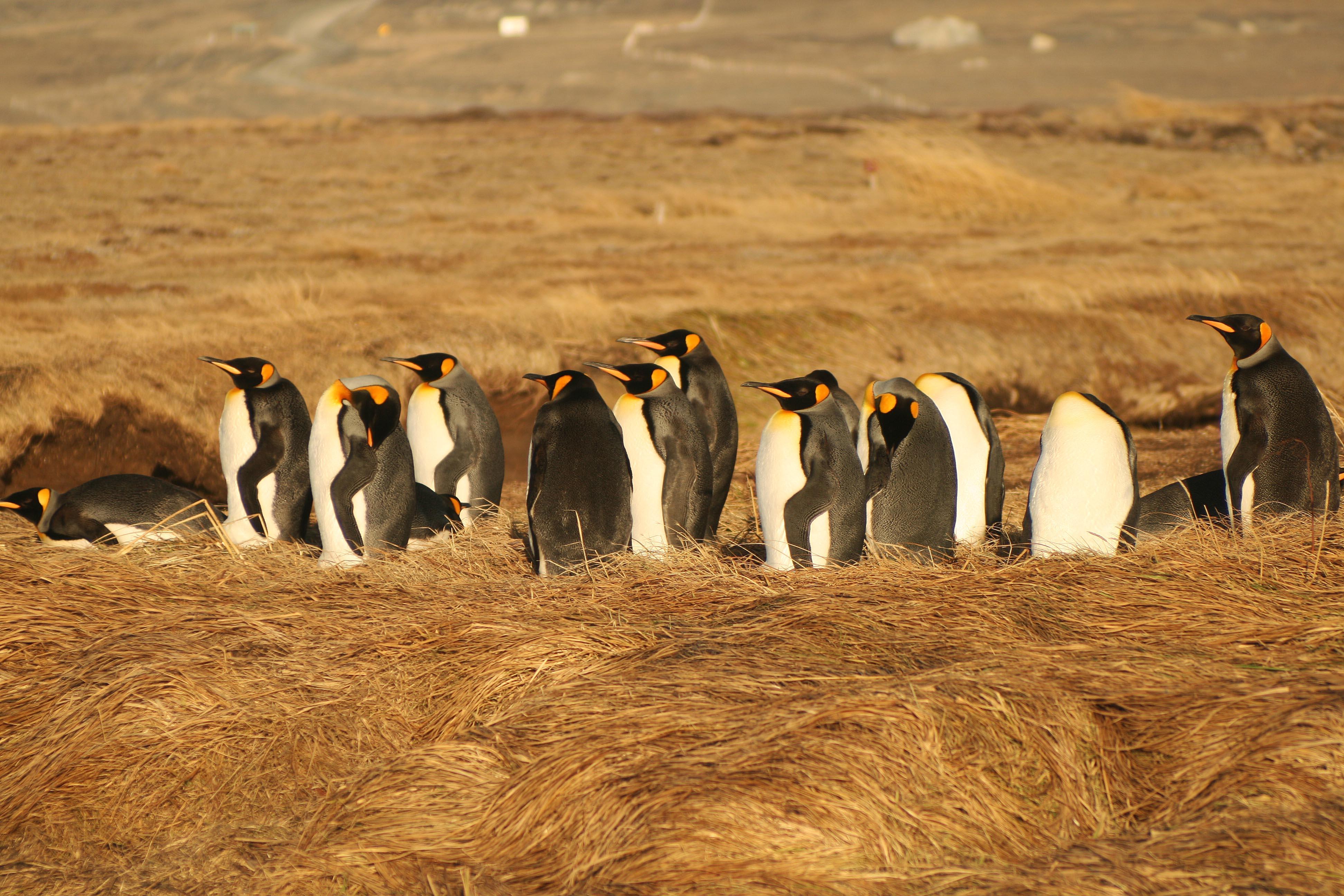 Pinguino Rey en T. del Fuego, Chile