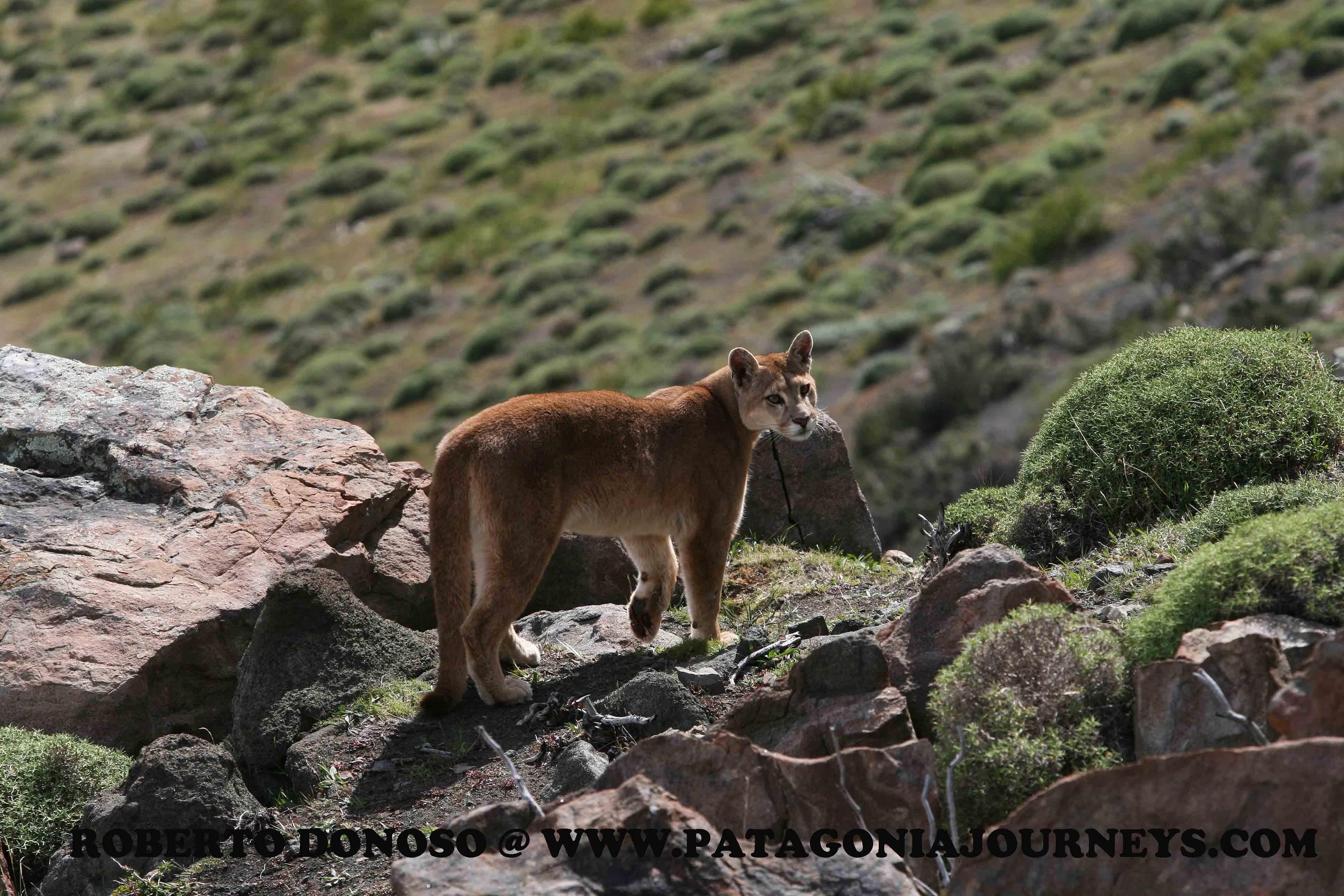 Puma en PN. Torres del Paine
