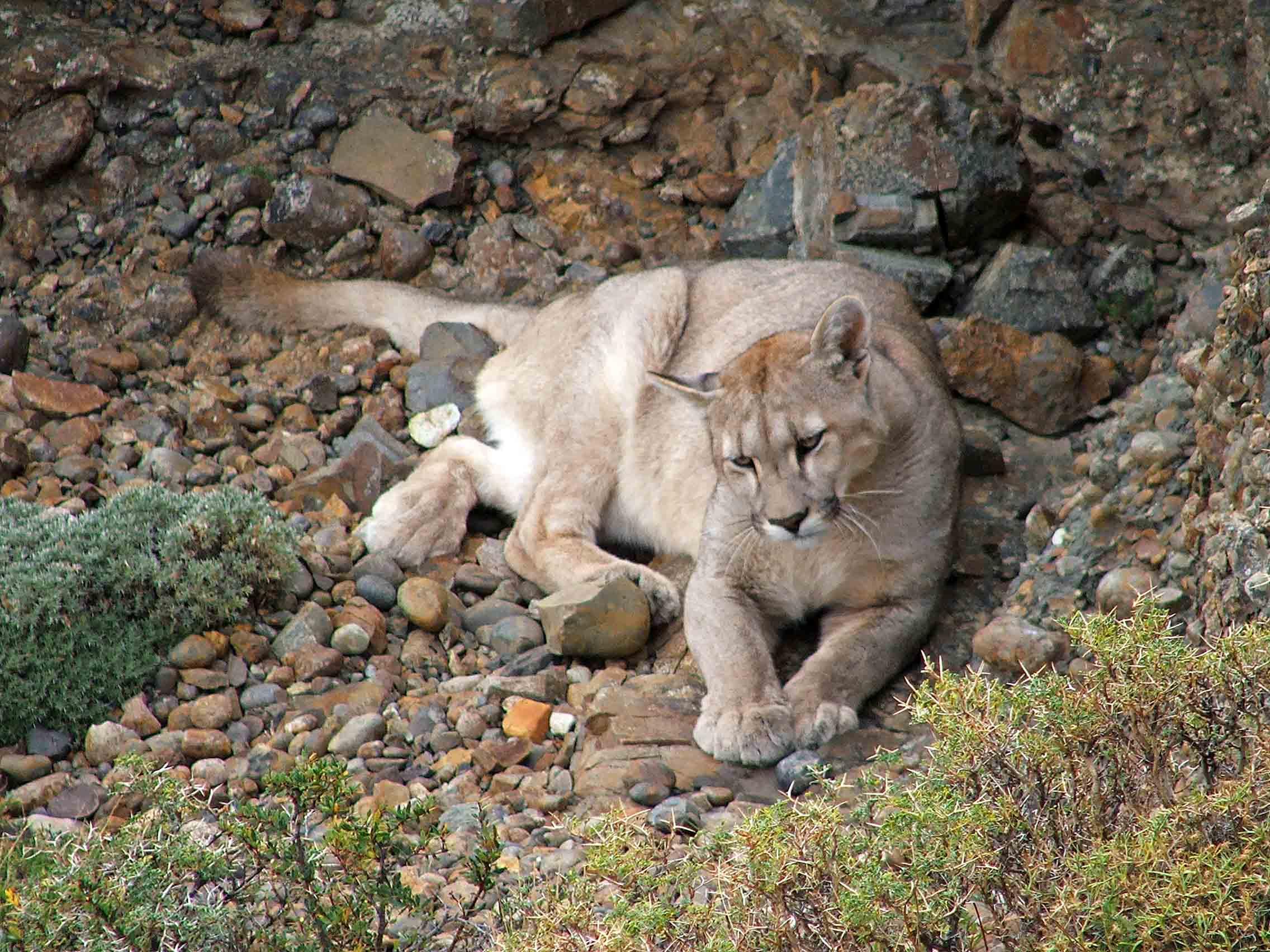 Puma en Torres del Paine, Chile
