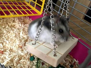 Hamster Crunchy (10 Monate) schaukelt in Brühl hin und her.