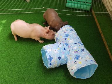 Die beiden Skinny Pigs Erwin (links; 17 Monate) und Herr Meyer (rechts; 17 Monate) erkunden ihren Tunnel!