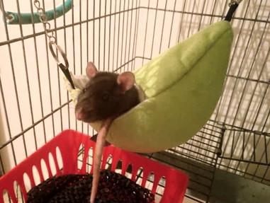 Mr. Jinx (5 Monate) aus Zinnowitz liebt seine neue Bananen-Höhle!