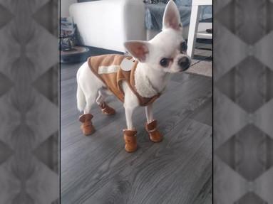 Chihuahua-Dame Honey (1) aus Neckarsulm in voller Wintermontur!