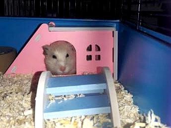 Hamster-Mädchen Ginny (1) hat ein neues Lieblings-Plätzchen!