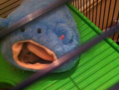 Hamster Bommel (10 Monate) aus Gernsheim döst in seiner neuen Hamster-Höhle.