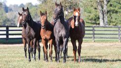 Curious yearlings.
