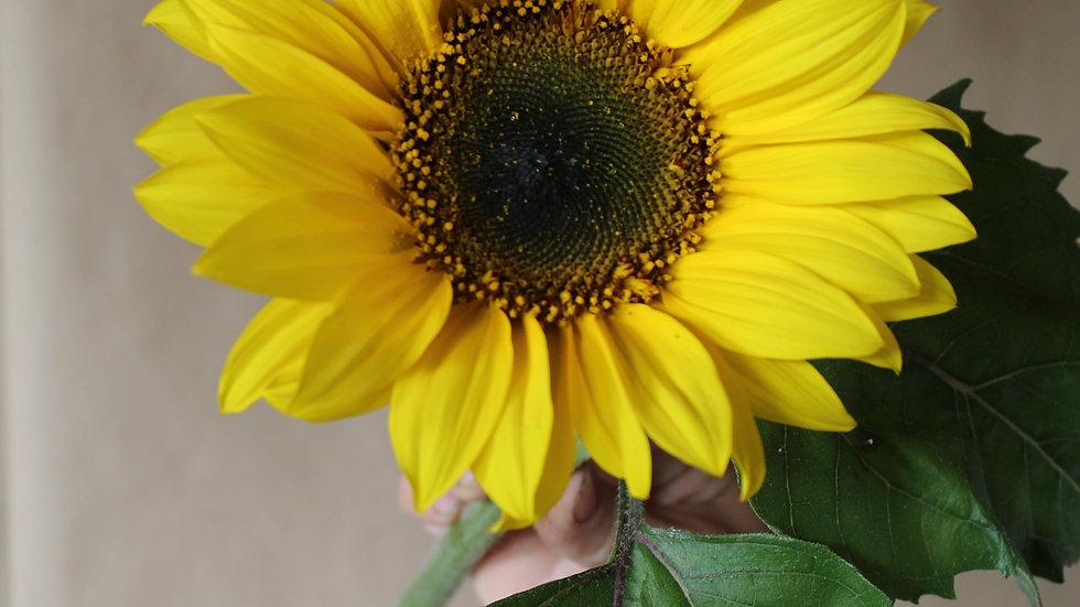 Sunflower, Classic Yellow ~ One Stem