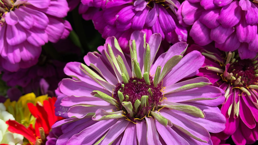 Seed - Zinnia, Benary's Giant, Dahlia Lilac