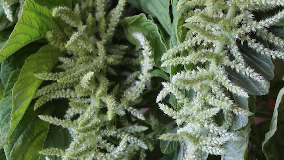 "Amaranth, ""Green Tails"" ~ 10 stems"