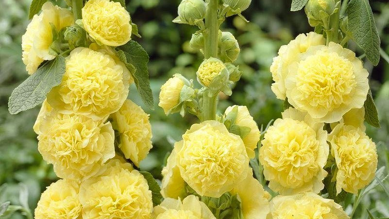 Seed - Hollyhock, Chater's Double, Golden Yellow
