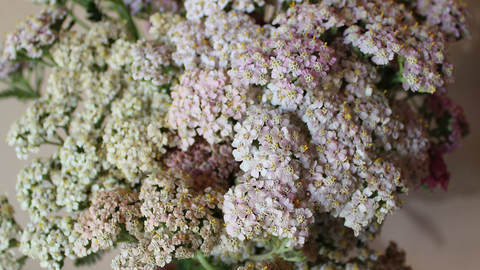 Yarrow, Antique Mix ~ 15 stems