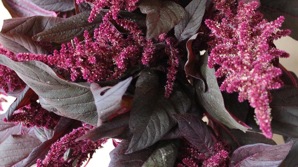 Seed - Amaranth, Velvet Curtains