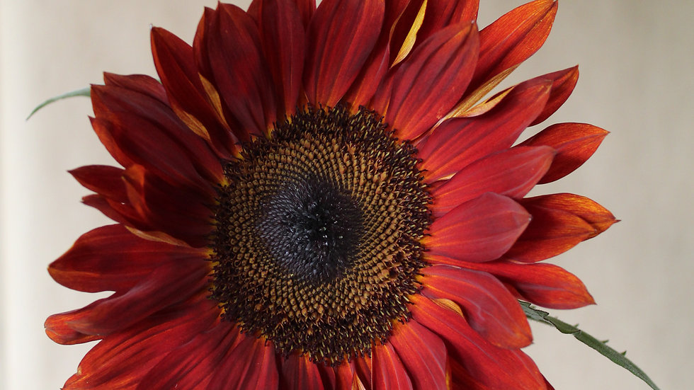 "Sunflower, ""Claret"" ~ One Stem"