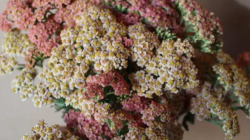 Yarrow, Peachy Mix ~ 15 stems